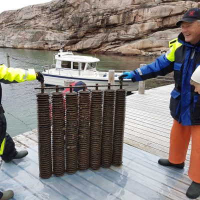 Field work on oysters by IVL team focused on native oyster production. Photo: Åsa Strand