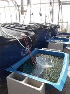 Experimental set up used for the cultivation of the seaweed Ulva ohnoi under two stocking densities using effluent from a shrimp biofloc rearing tank. Photo by Mateus Aranha Martins.