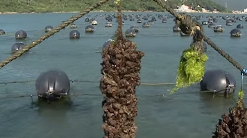 Mariculture of mussels and algae in Brazil. Photo by Epagri.