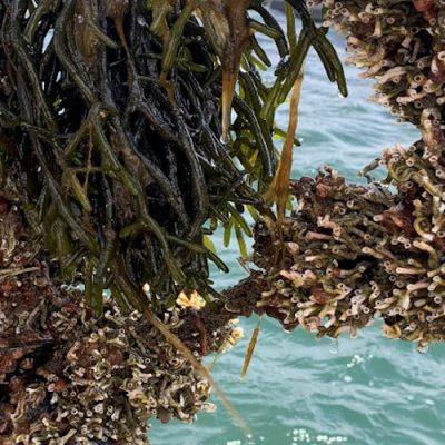 Fouling on mussels in Denmark. Photo by Kristina Svedberg, of Bohus Havsbruk.