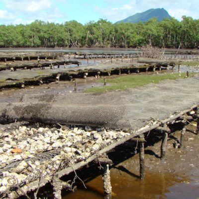 Mangrove oysters production in Cananeia, Sao Paulo, Brazil.