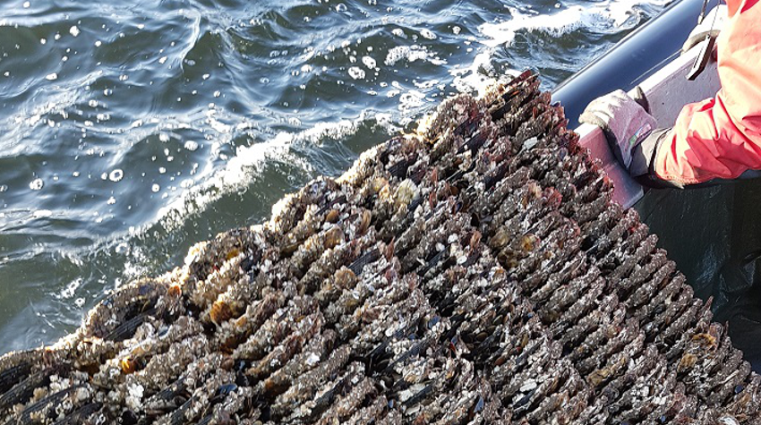 Oyster spat collector in Sweden. Photo by Asa Strand, IVL.